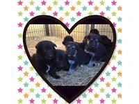 German shepherd puppies All Black & Black/ Sable