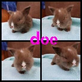 Mini lion lop babies RESERVE ONLY