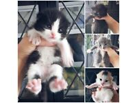 Stunning BSH x Male Kitten For Sale