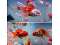 GOLD FISH tank Assorted Cold water Tropical Lion Head Jelly Head not Marine