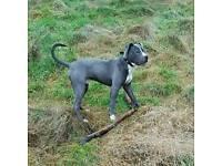 Blue American bulldog