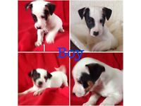 Jack Russell puppies, 2 girls& 4 boys. Will be fully vaccinated and chipped and ready on 5 August