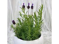 Lavender flower plants