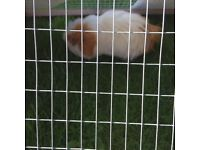 Two beautiful guinea pigs for sale