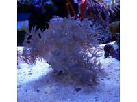 pulsing xenia coral frags