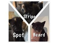3 female kittens for sale! Ready August 24th