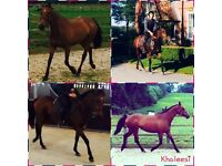 Wheatherbys registered 15.2hh 6 year old TB mare