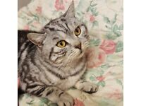 LOST PEDIGREE SILVER TABBY CAT FROM EDEN COURT