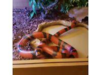 Honduran tangerine milk snake with or without 3ft vivarium