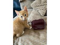 Boy 9 week kitten