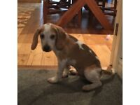 Beagle puppy 13 weeks old gorgeous comes with large cage, toys, bed, food etc had first injections