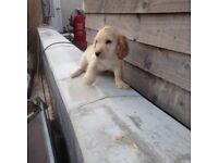 Kc registered cocker spaniel puppy
