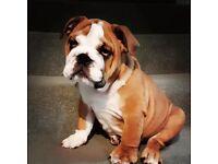 Kc reg male British bulldog puppy