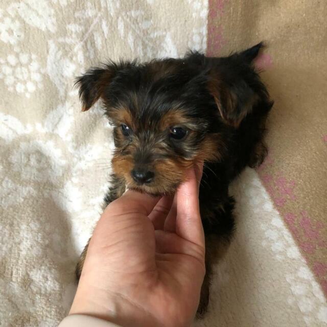 Yorkshire terrier puppies | in Worcester, Worcestershire | Gumtree