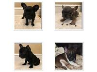 KC registered French bulldog puppies ready to leave today