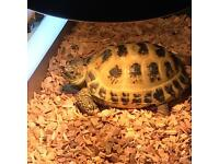 PLEASE HELP!..Missing horsefield tortoise- Hartcliffe