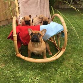Outstanding French Bulldogs