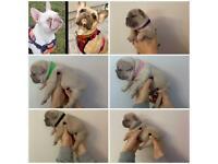 KC French bulldog puppies