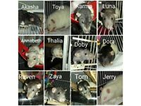 9 female rats and cage £30 for all