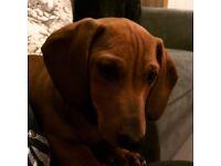 Wanted dachshund