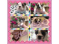 kc registered british bulldog puppies Now Reduced £1,700