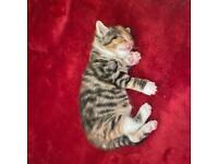 Kitten for sale (LAST KITTEN AVAILABLE)