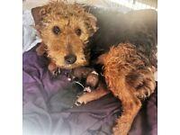 Lakeland cross Jack Russell puppies