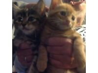 4 beautiful ginger male kittens and 1 black and grey kitten girl for sale ready in one 1 week