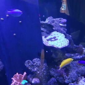 Marine damsel fish for sale £10