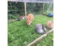 Friendly Bunnies/Baby Rabbits for Sale