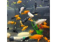 Tropical Fish Guppy£1, Angels, Molly, Tetras, Betta..FREE HOME DELIVERY
