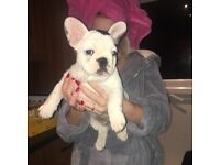 13 week old Pied Male French Bulldog Puppy