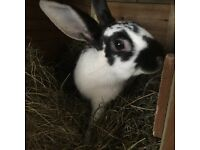Male rabbit free to a good home