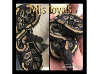 Cb18 mojave male royal python