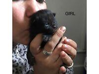 Gorgeous long haired kitten girls