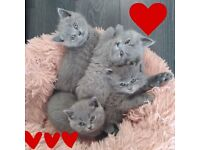 Beautiful BSH kittens