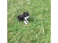 Collie x labrador puppies