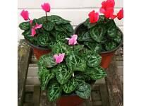 Plants, shrubs for salr