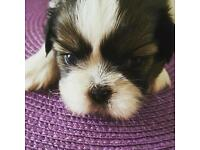 Adorable Shih Tzu Pups For Sale