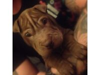6 beautiful shar Pei puppies