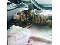 Beautiful marble Bengal kittens