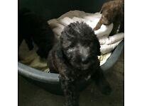 Bedlington Terrier Puppies for sale