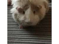 **REDUCED** 2 male guineapigs