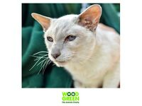 Snazzie - Tonkinese (Cat) - 11 years old - Looking for his Forever Home