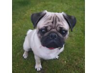 8mth old pug pup