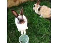 Pair of female rabbits