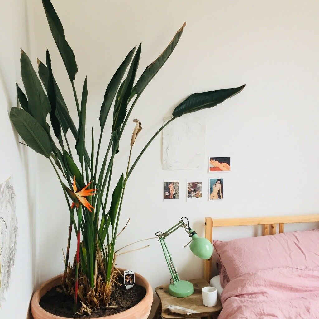 indoor bird of paradise plant and large terracotta pot in finsbury