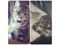 MISSING 1 year old kitten from Burslem. Goes by the name Lolly and is microchipped