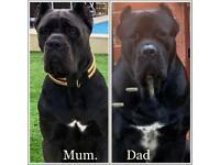 Cane corso pedigree puppies 9wks
