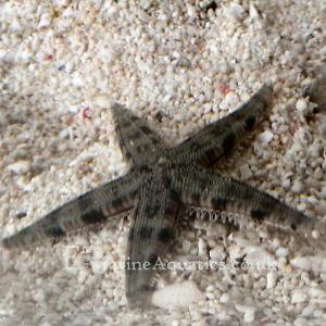 SAND SIFTING STARFISH Marine Aquarium Invertebrates (Wickford, Essex)